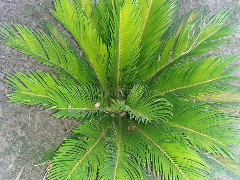 DYPSIS LUTESCENS. They thrive in pots &low light conditions ,with areca palm breathe easy ,because they filter and clean the air .They filter ,dry stale air & stock photo