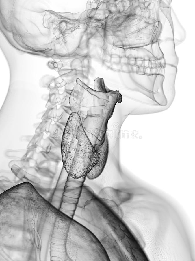 The throat anatomy. 3d rendered medically accurate illustration of the throat anatomy vector illustration