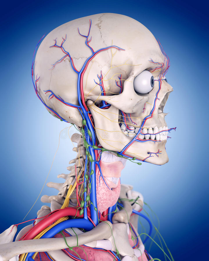 The throat anatomy. Medically accurate illustration of the throat anatomy vector illustration
