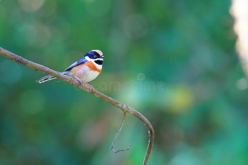 Throated bushtit fotografia stock