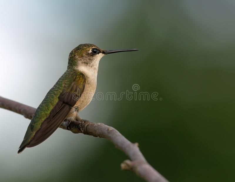 Throated Hummingbird Obrazy Stock