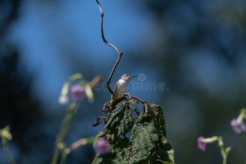 throated hummingbirdruby arkivbilder