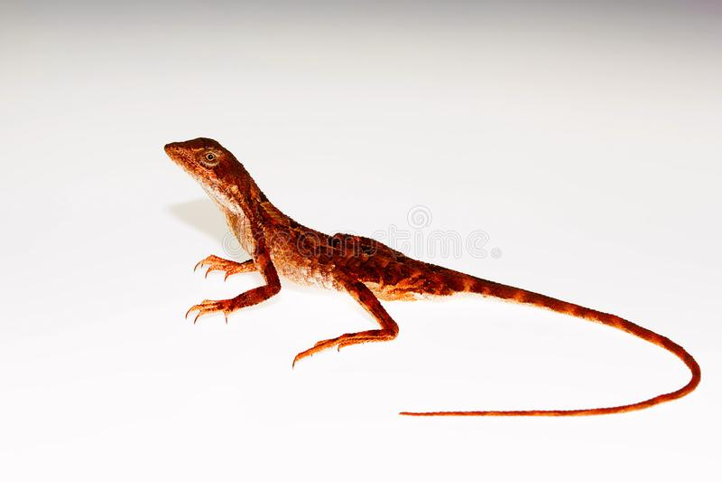 Throated jaszczurka, Sitana laticeps, Kolhapur, INDIA zdjęcia stock