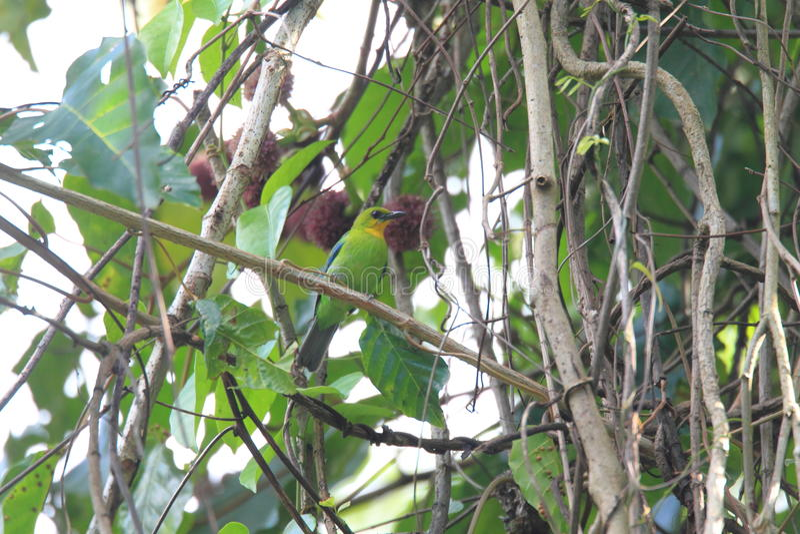 Throated leafbird obrazy royalty free