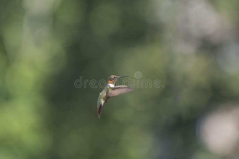throated male ruby för flyghummingbird fotografering för bildbyråer