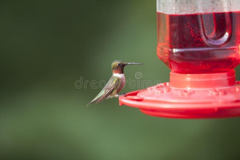 throated male ruby för hummingbird arkivfoto