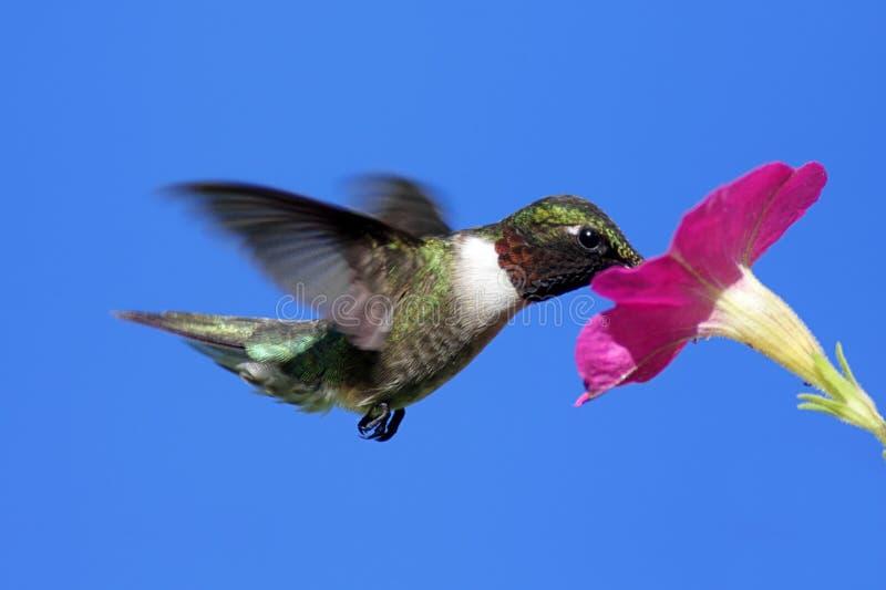 throated male ruby för hummingbird arkivfoton