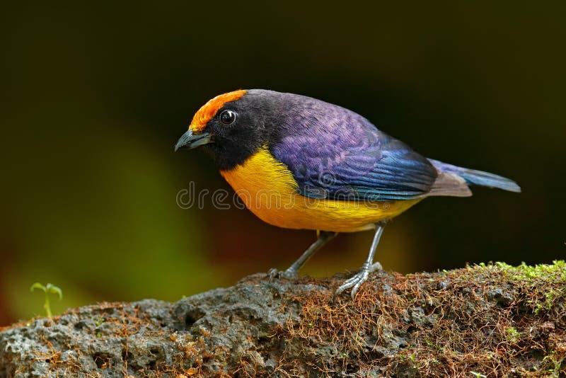 Throated Redstart, Myioborus miniatus, piękny ptak od zwrotnika Costa Rica Tanager w natury siedlisku Przyrody scena fotografia royalty free