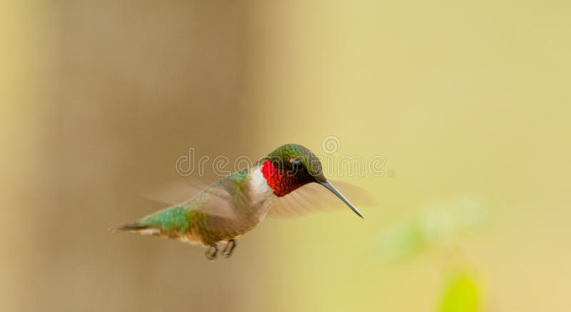 throated ruby för archilochuscolubrishummingbird royaltyfri bild