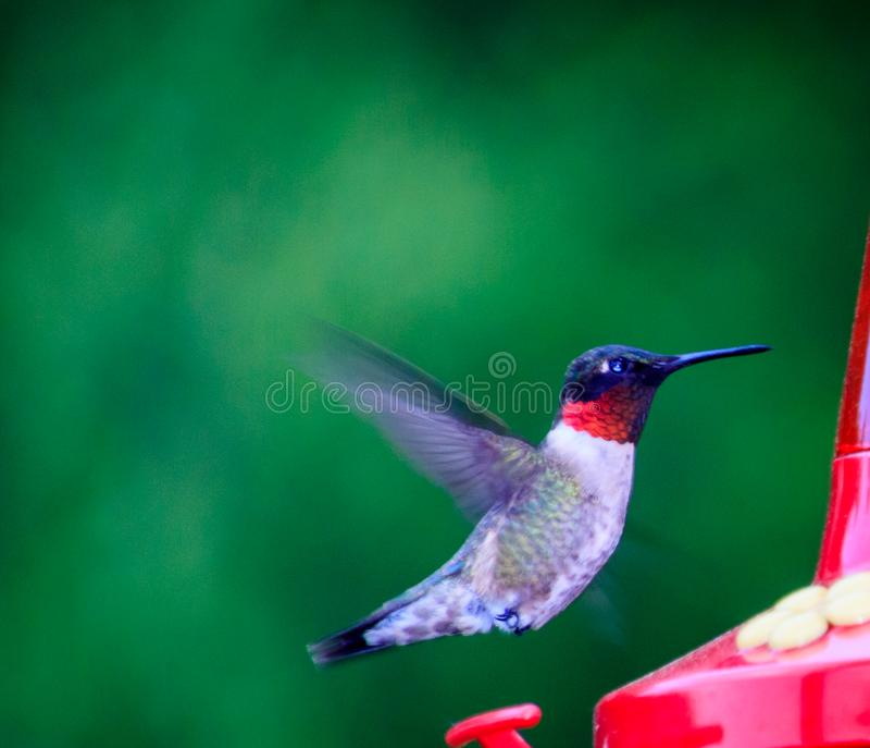 throated vermiglio maschio del colibrì immagini stock