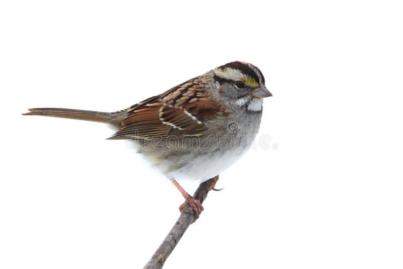 throated vit zonotrichia för albicollissparrow royaltyfri fotografi