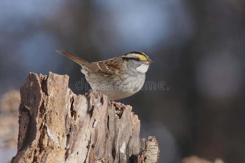 throated vit zonotrichia för albicollissparrow arkivbilder