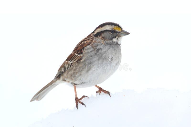 throated vit zonotrichia för albicollissparrow royaltyfria bilder