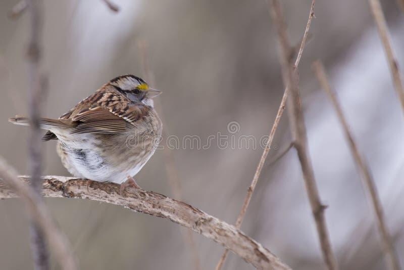 throated vit zonotrichia för albicollissparrow royaltyfri bild