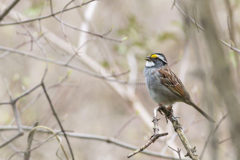 Throated wróbli ptasi śpiew obrazy stock