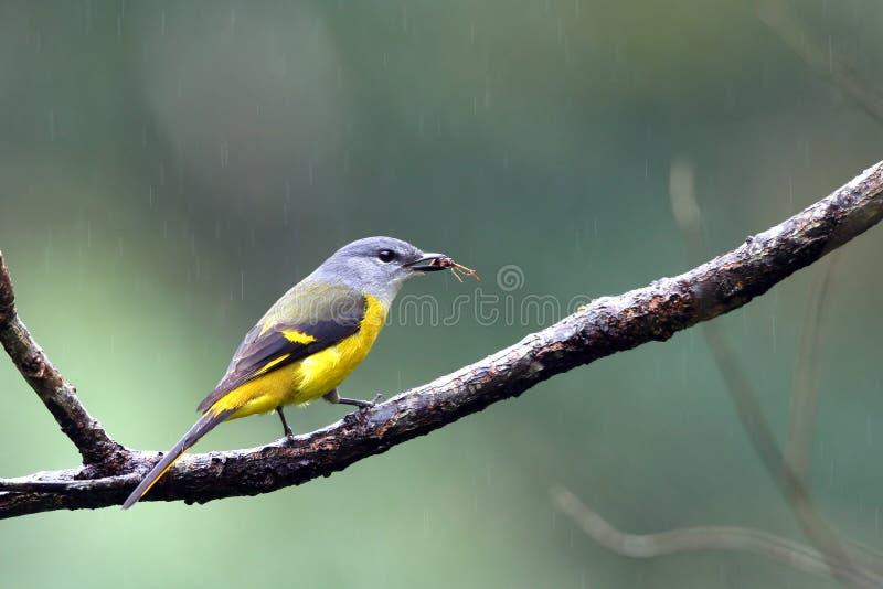 throated yellow för minivet fotografering för bildbyråer
