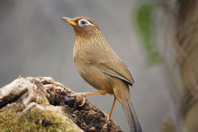 Throstle. A babbling thrush stands on tree stool. Scientific name: Garrulax canorus. Shooting in southern slope of Qinling mountain, China royalty free stock photos