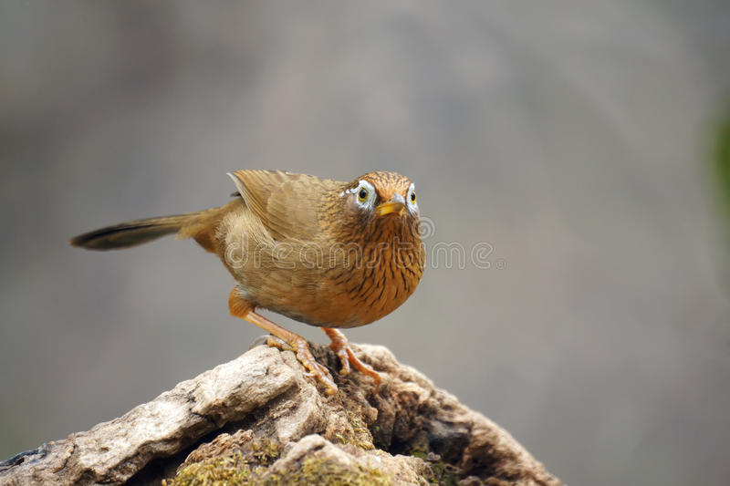 Throstle. A babbling thrush stands on tree stool. Scientific name: Garrulax canorus. Shooting in southern slope of Qinling mountain, China stock image