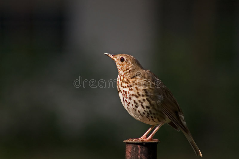 Download Thrush stock image. Image of small, song, animals, thrush - 7321301