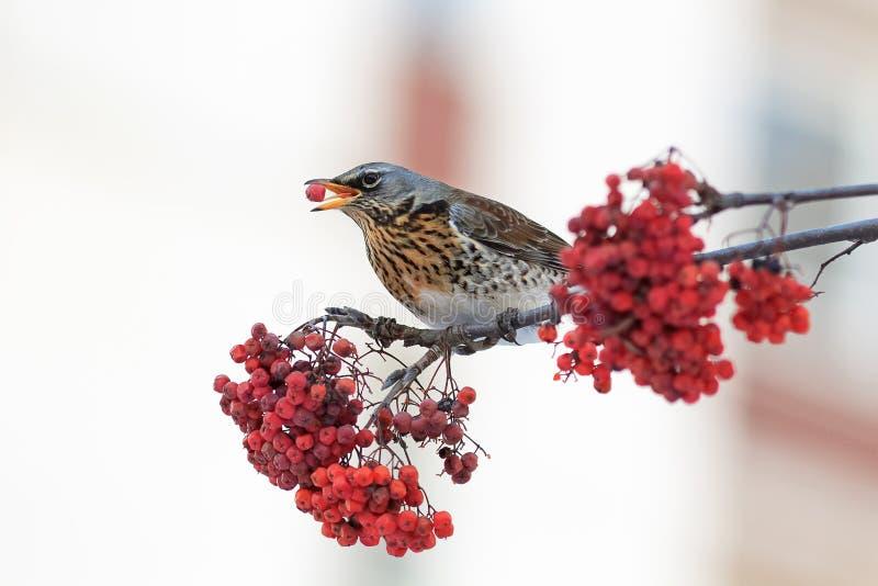 The thrush bird eats the ripe red Rowan berries in Park stock image