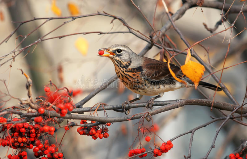 The thrush bird eats the sweet red Rowan berries in autumn stock images
