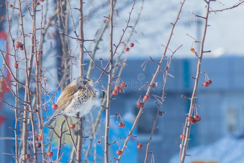 Thrush bird on the tree in winter royalty free stock photos
