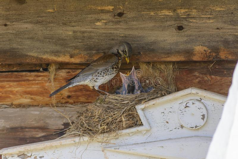 Thrush on nest feeding chicks royalty free stock photo