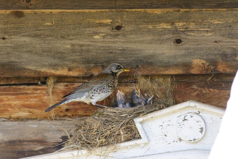 Thrush on nest royalty free stock photography