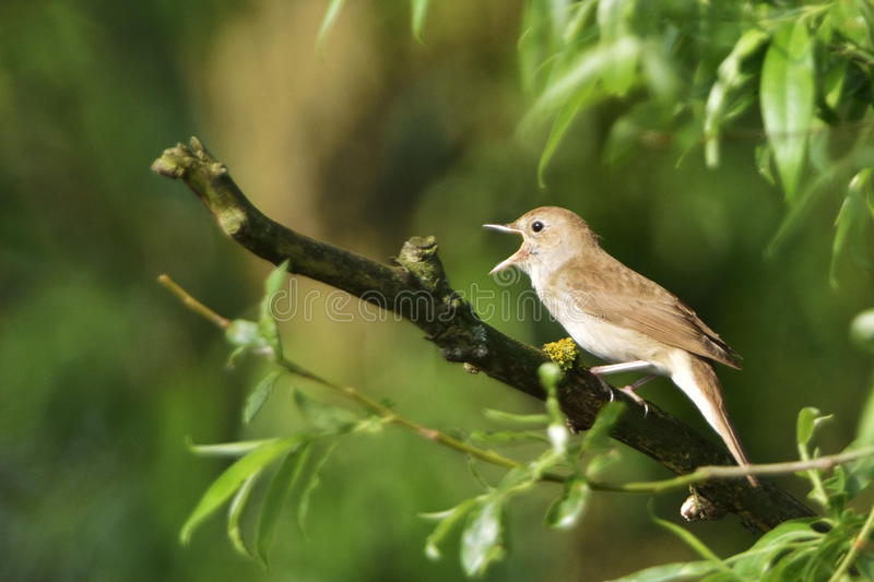Thrush nightingale. Sprosser singing on a tree in the morning stock photography