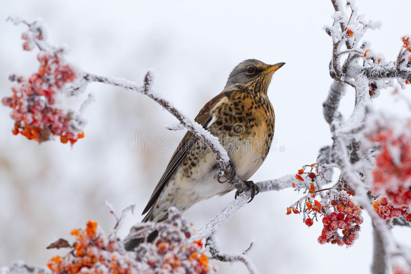 Thrush siting on a rowan tree stock photos
