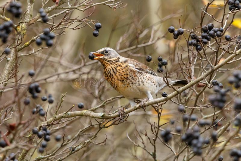 The fieldfare Turdus pilaris with black berry in his mouth. The thrush with slate-grey head and boldly speckled breast sitting on bush of amelanchier also known stock photos