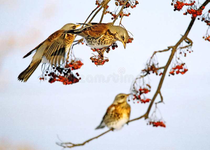 Thrushes and rowanberry royalty free stock photos
