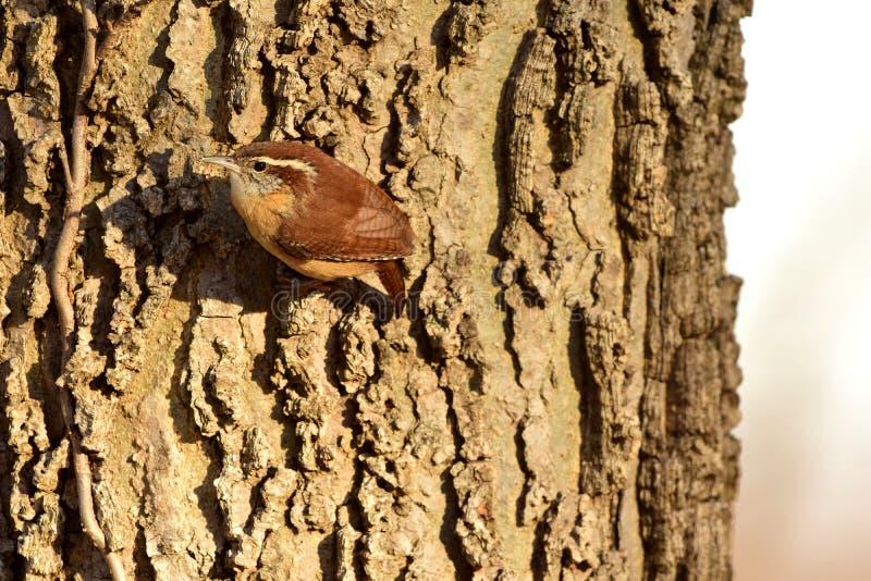 Thryothorus ludovicianus imagens de stock royalty free