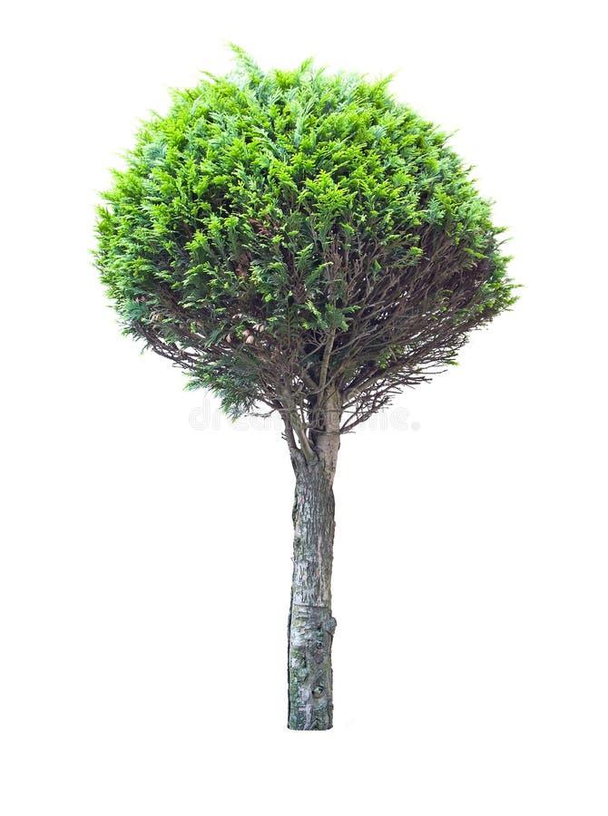 Thuja δέντρων στοκ φωτογραφία με δικαίωμα ελεύθερης χρήσης