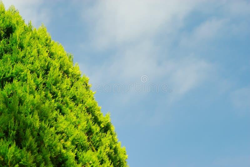 thuja голубого неба стоковые фотографии rf