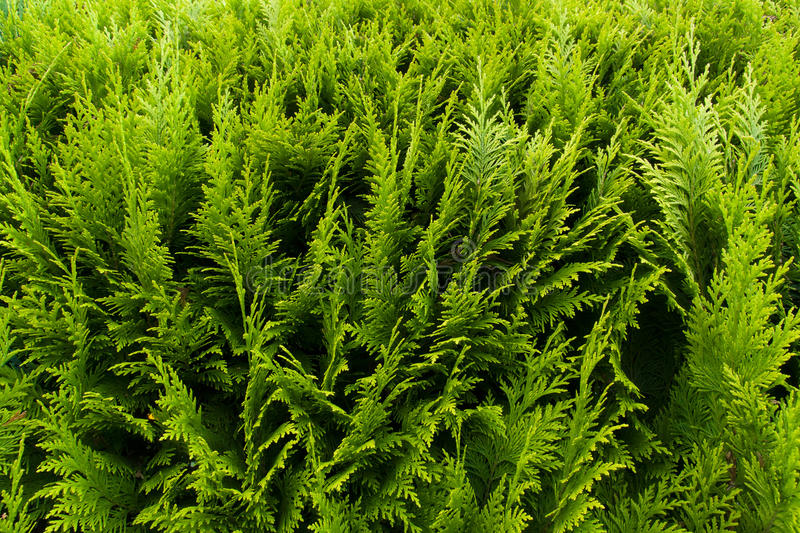 Thuja. Background of the Thuja. Evergreen plant royalty free stock photography