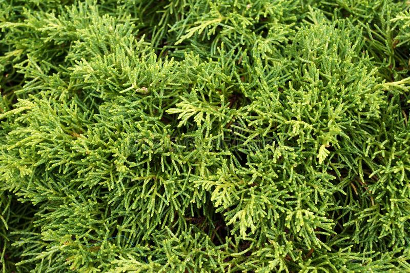 Thuja arbor vitae. Natural green background royalty free stock images