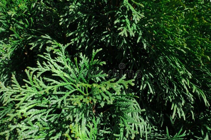 Thuja, arbre à feuilles persistantes, parent de cyprès Texture des feuilles de thuja avec des baisses de pluie Fond vert normal P images stock