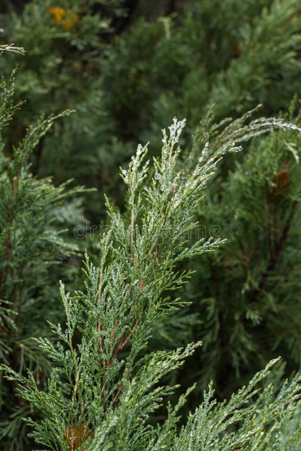 Thuja, arbre à feuilles persistantes Texture des feuilles de thuja avec des baisses de pluie photos libres de droits