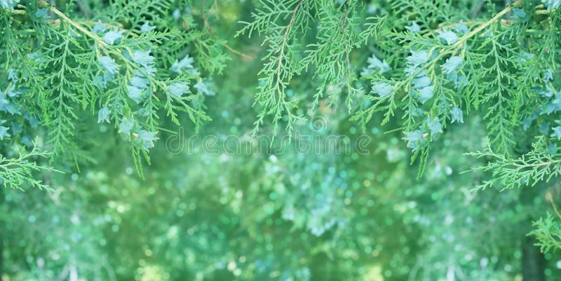 Thuja branch in macro close-up stock photos