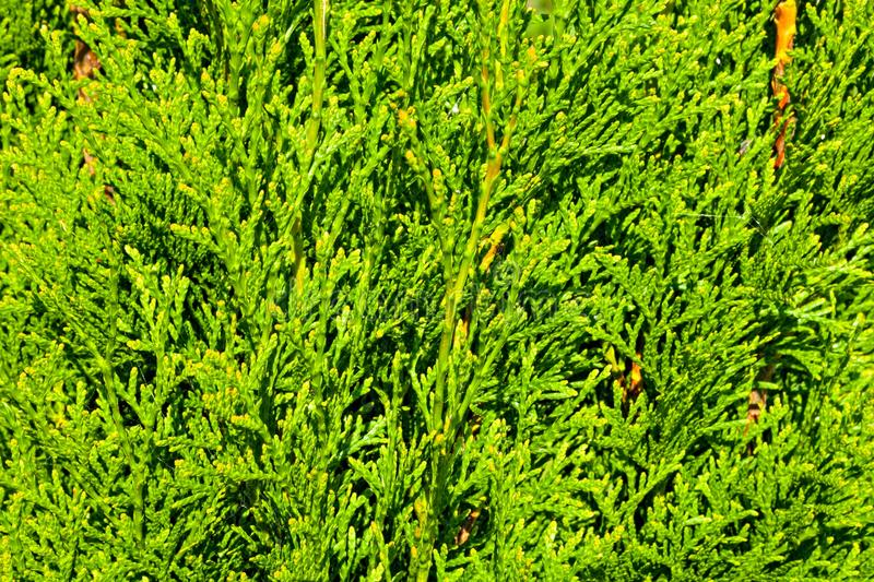 Thuja branches stock photography