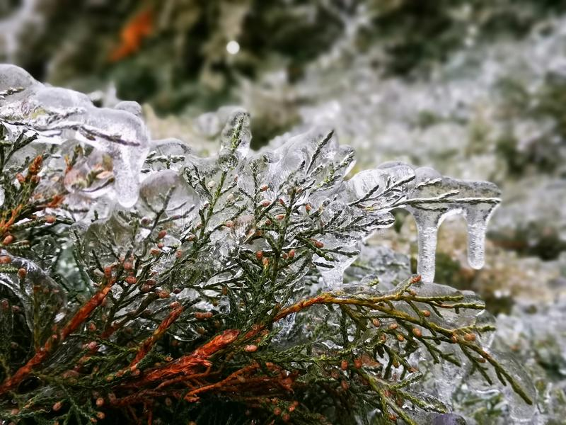 Thuja branches wrapped in ice royalty free stock photo