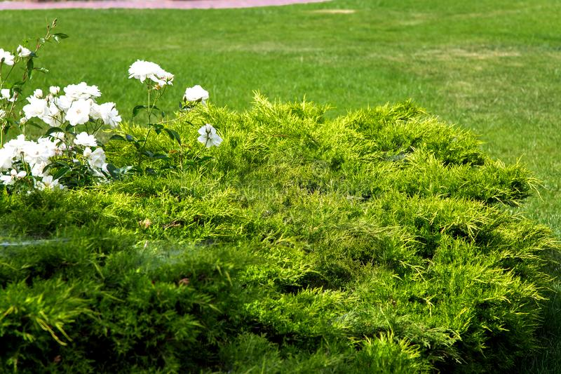 Thuja bush in a flower bed and white blossoms. Thuja bush in a flower bed and white blossoms against a green lawn, close-up of an evergreen plant royalty free stock photos