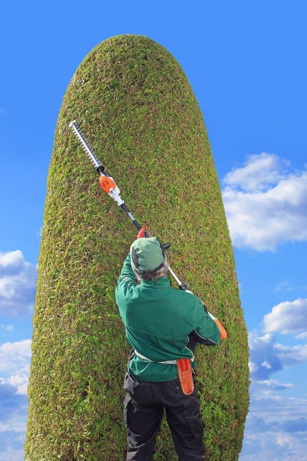 Thuja de règlage de jardinier avec des tondeuses de haie photographie stock libre de droits
