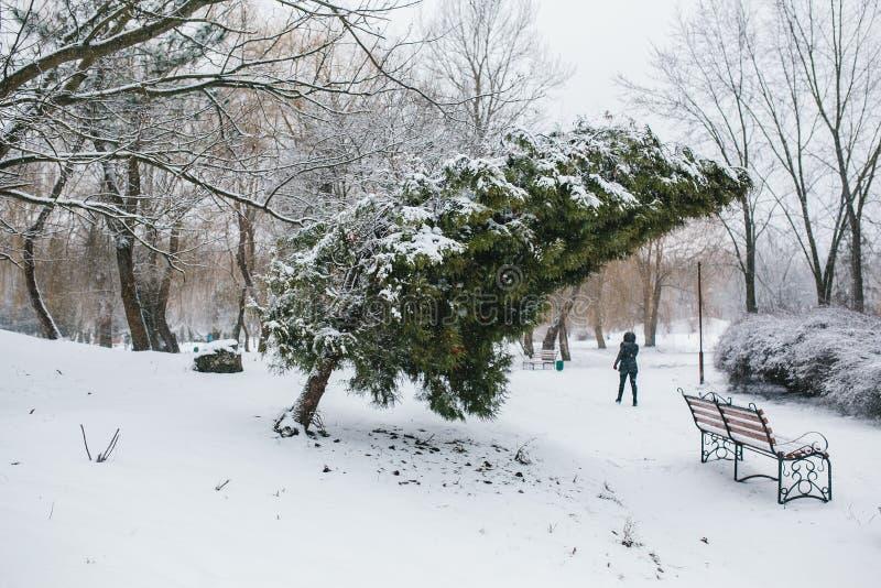 Thuja en parc neigeux photo stock