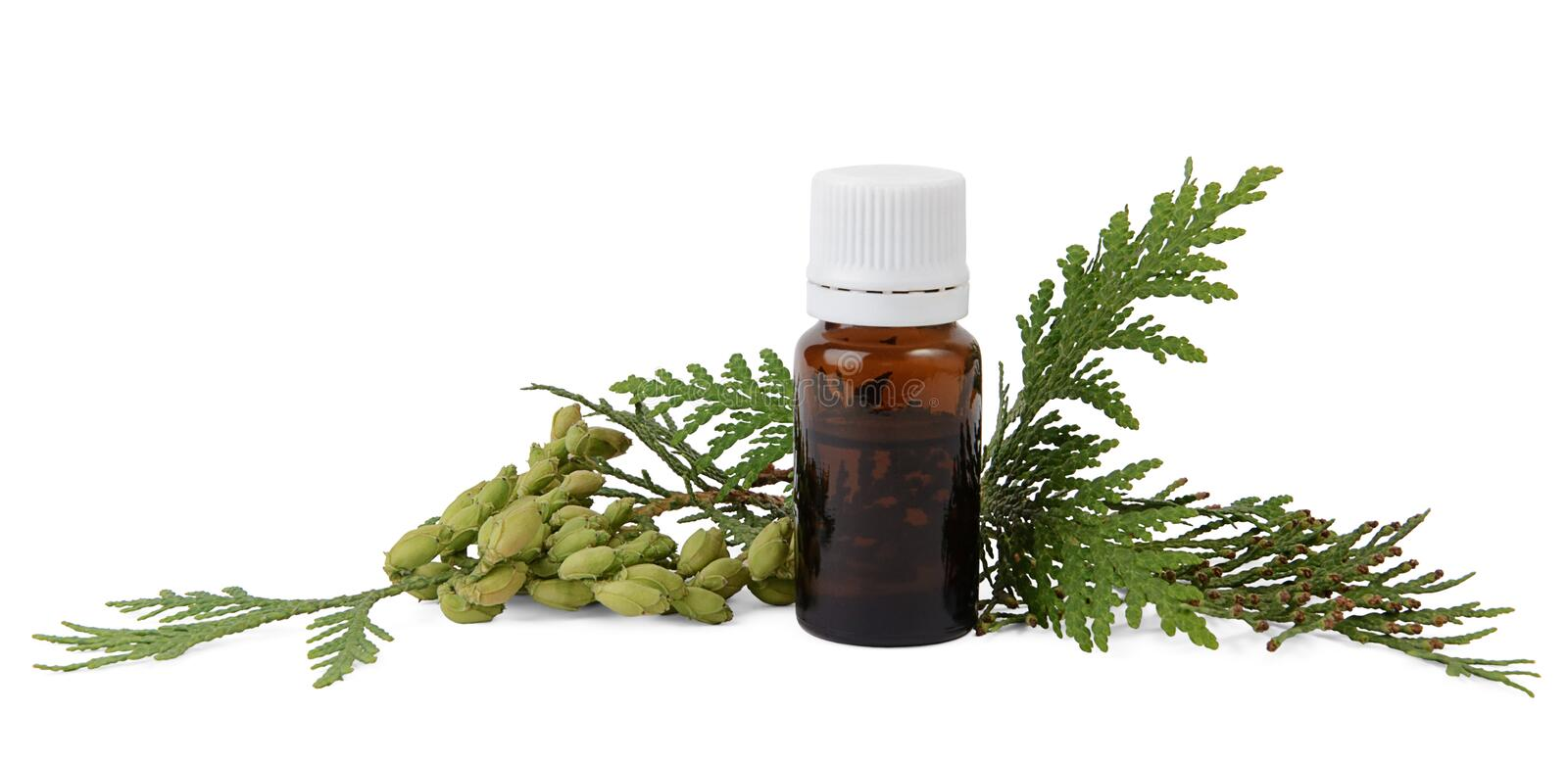 Thuja essential oil in bottle with thuja seeds and foliage royalty free stock image