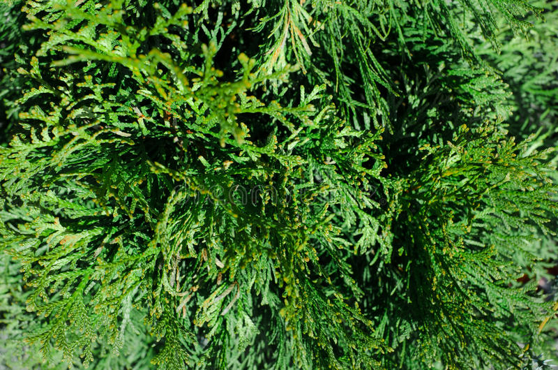 thuja evergreen tree cypress relative texture of thuja leaves with rain drops natural green. Black Bedroom Furniture Sets. Home Design Ideas