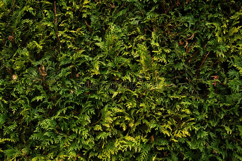 Thuja green close. Small leaves on a backlit background. royalty free stock photo