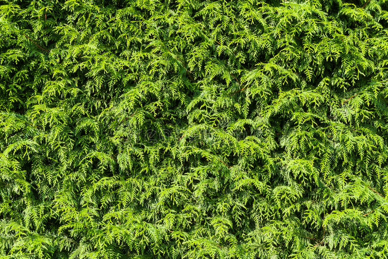 Thuja hedge. In sunshine as background royalty free stock image