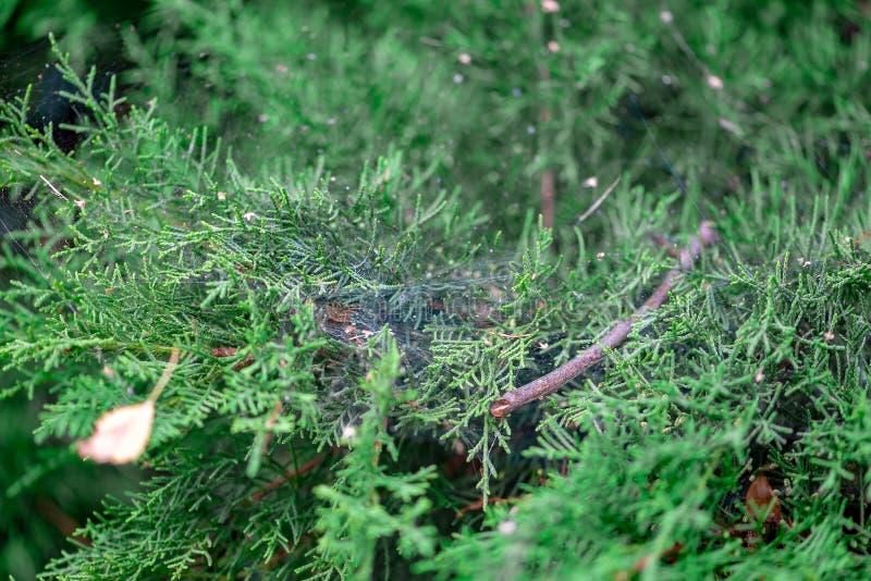 Thuja imperecedero en un parque del paisaje con la web de araña fotos de archivo